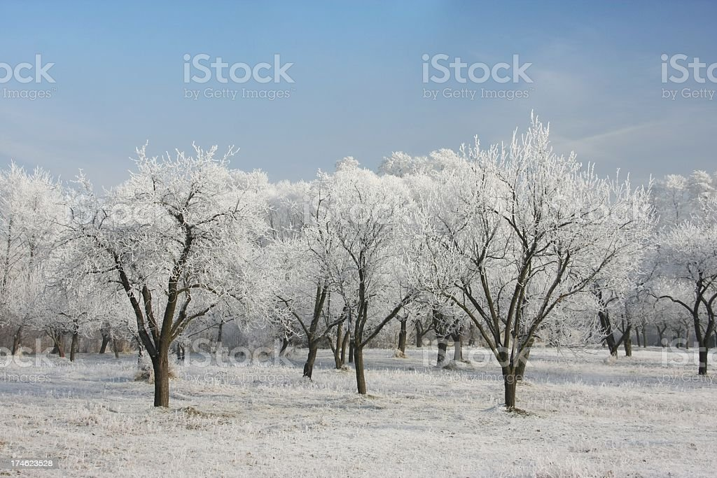Winter Trees and blue sky royalty-free stock photo