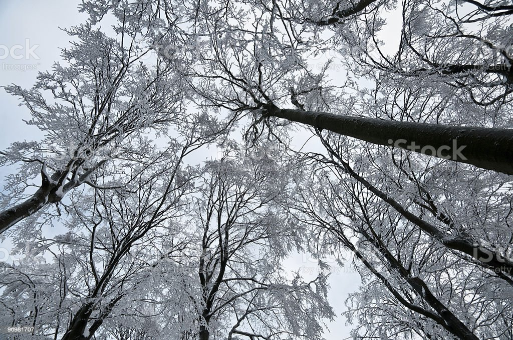 Winter trees from below royalty-free stock photo