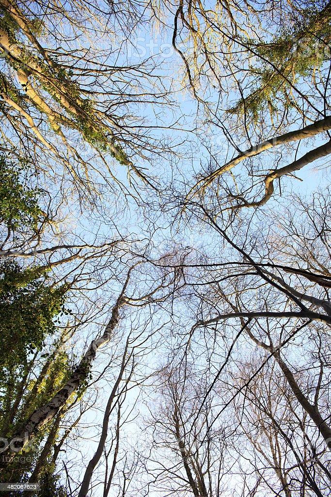 Alberi invernali in una foresta foto stock royalty-free