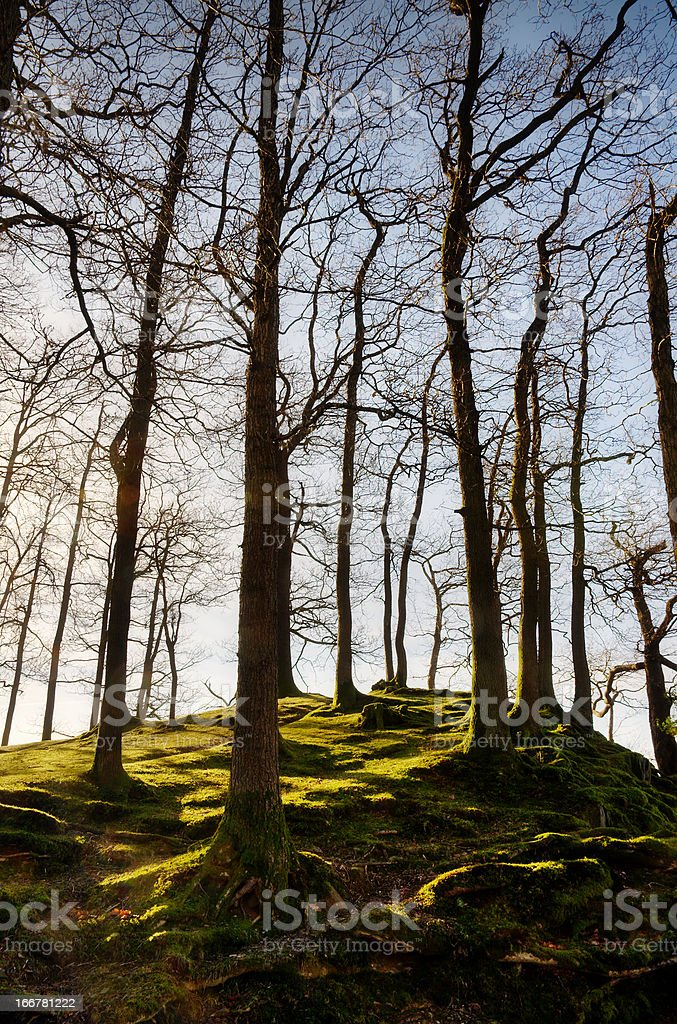 Winter trees on a mossy knoll royalty-free stock photo