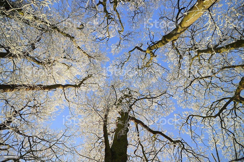 Winter Trees royalty-free stock photo