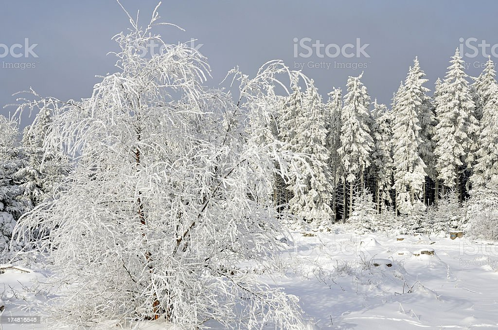 Winter trees with snow royalty-free stock photo