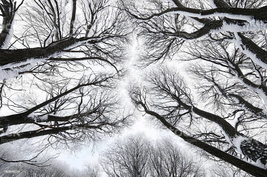 Winter treetops royalty-free stock photo