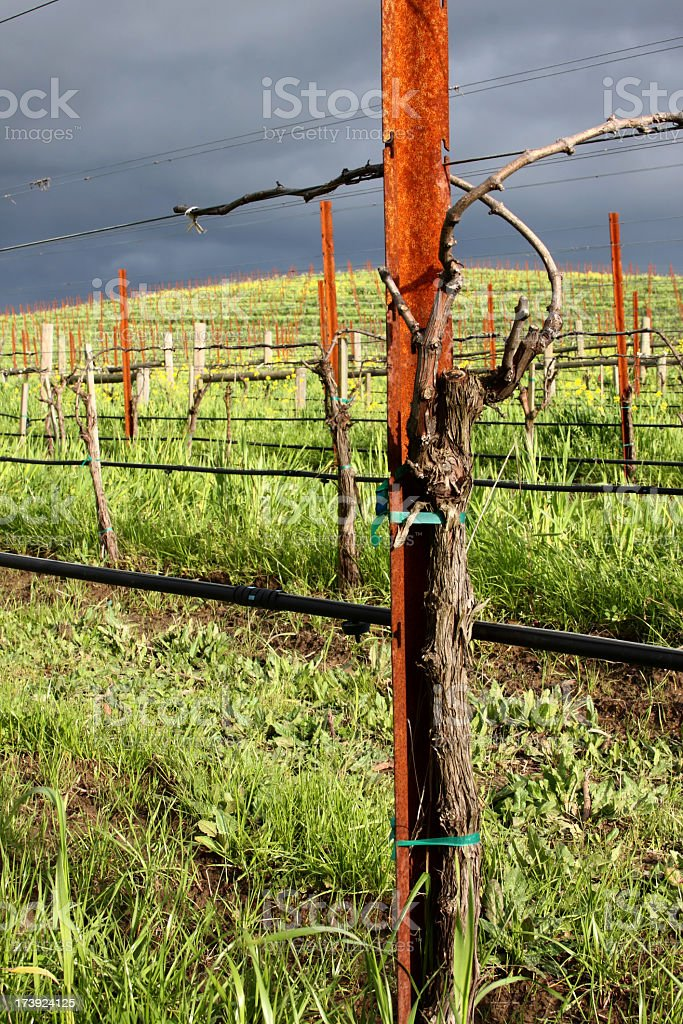 Winter Vine royalty-free stock photo