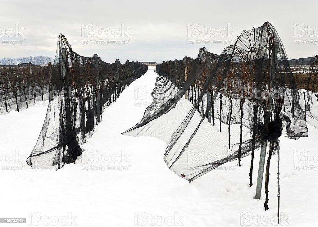 winter vineyard covered wit black net against birds stock photo
