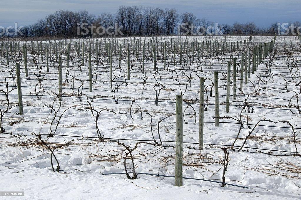 Winter Vineyard royalty-free stock photo