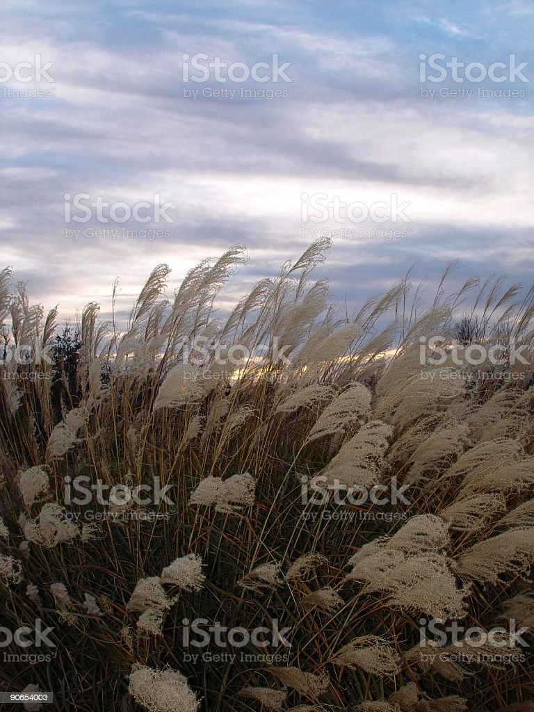 Winter Weeds royalty-free stock photo