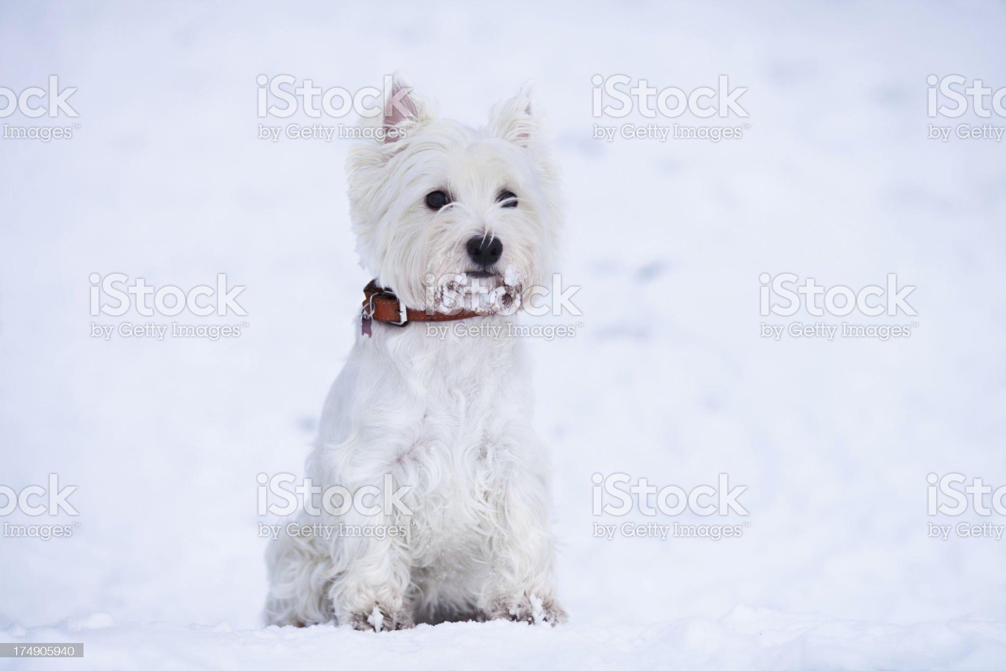 Winter westie royalty-free stock photo