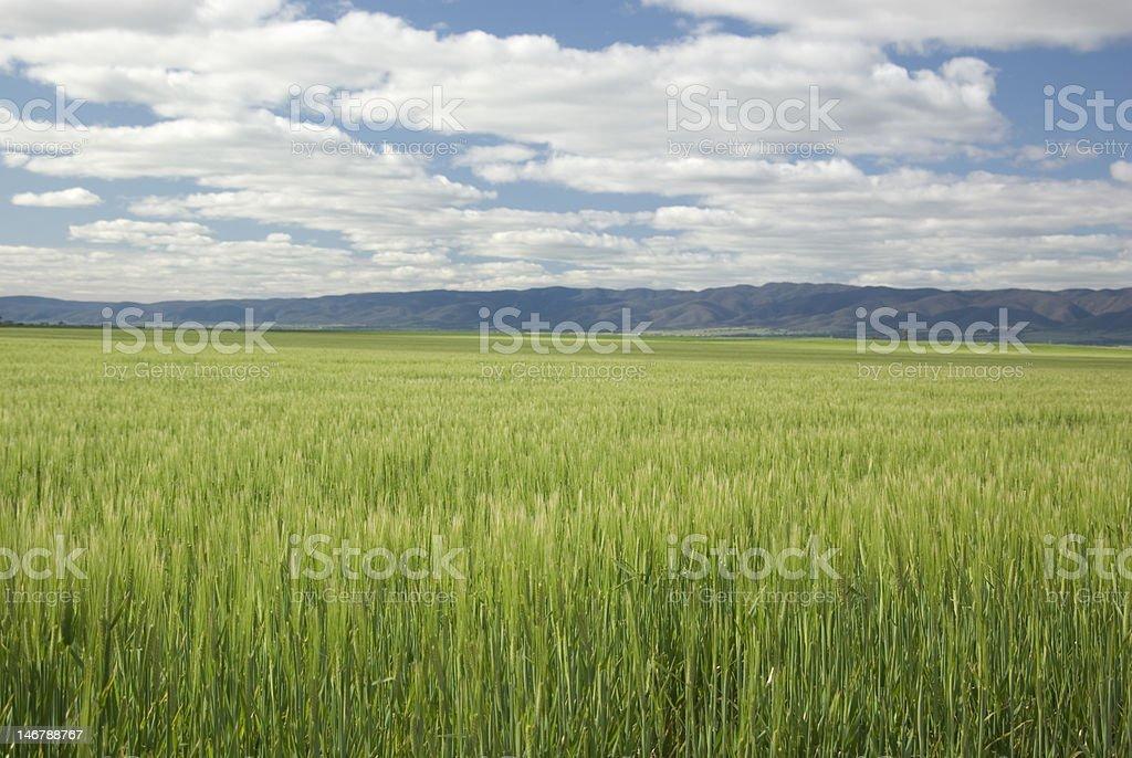 Winter wheat crop, Flinders Ranges, South Australia stock photo