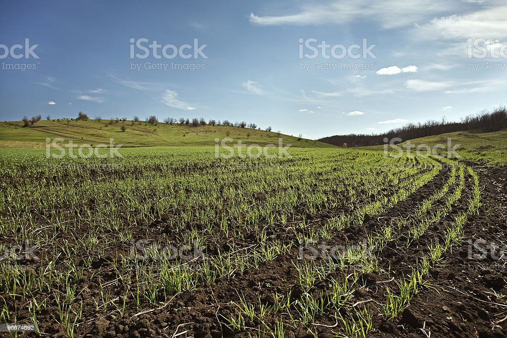 winter wheat field stock photo