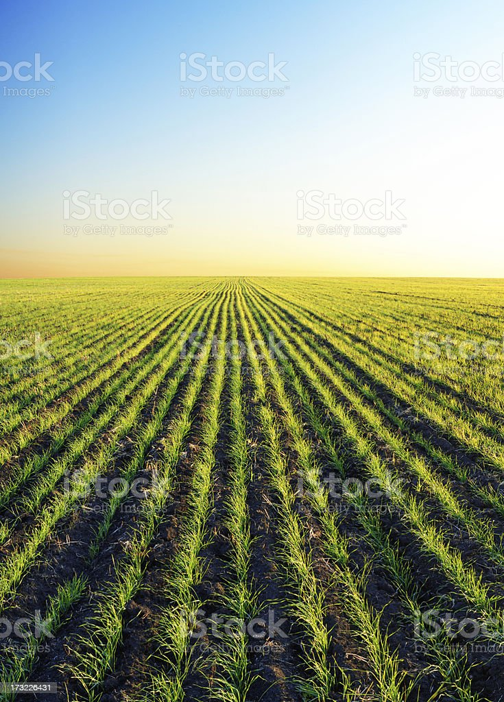 Winter wheat patches in sunset light stock photo