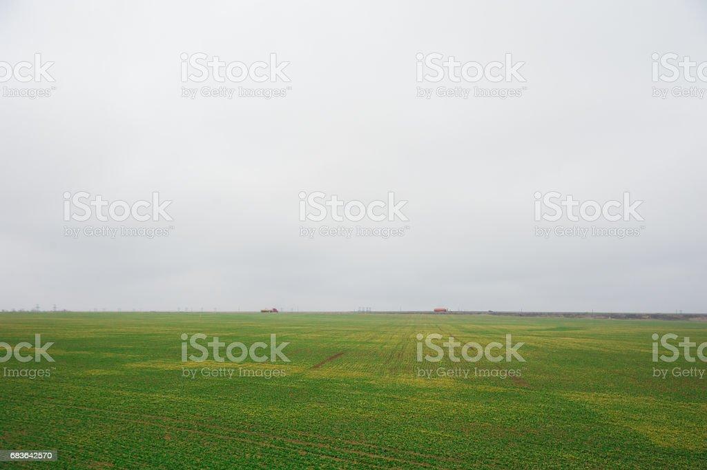 Winter wheat seedlings stock photo