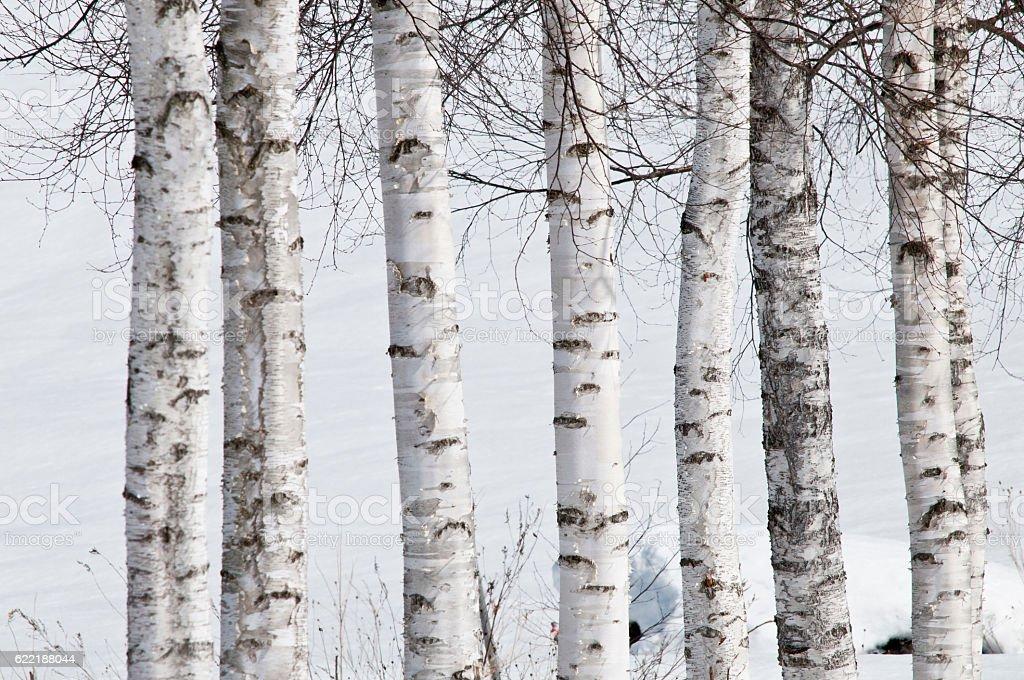 Winter white birch stock photo