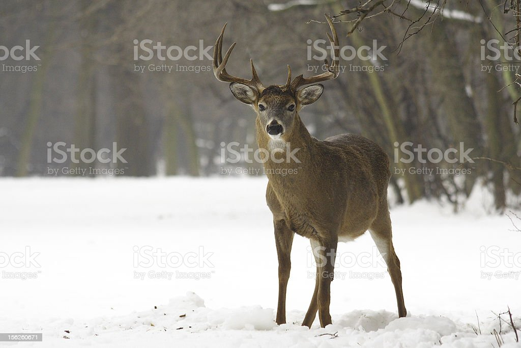 Winter White Tailed Deer royalty-free stock photo