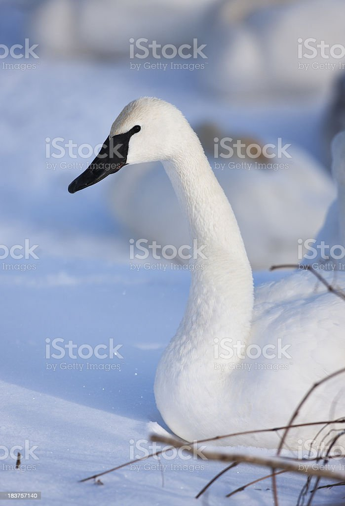 Winter white tundra or trumpeter swan and snowy setting. stock photo
