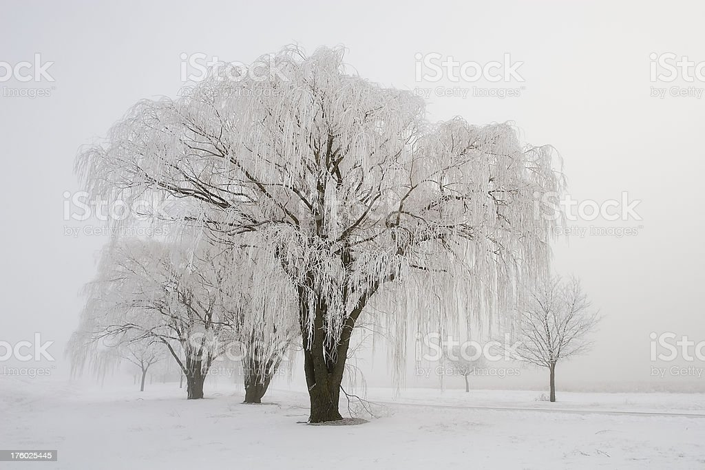 Winter Willows royalty-free stock photo
