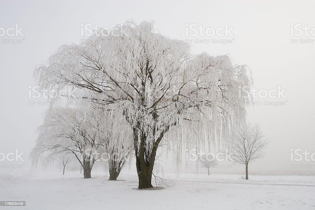 Winter Willows stock photo