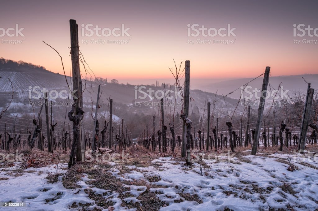 Winter with snow in the danw in a vineyard stock photo