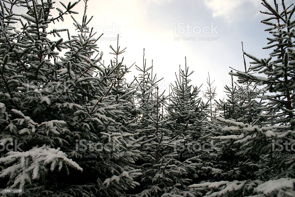winter woodland royalty-free stock photo