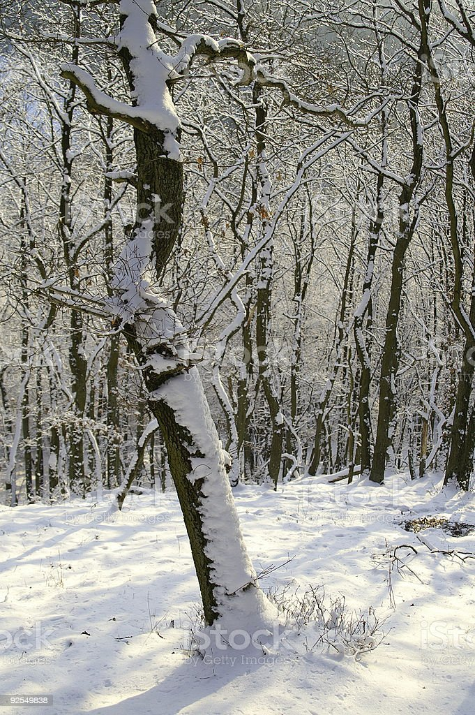 Winter woods in January royalty-free stock photo