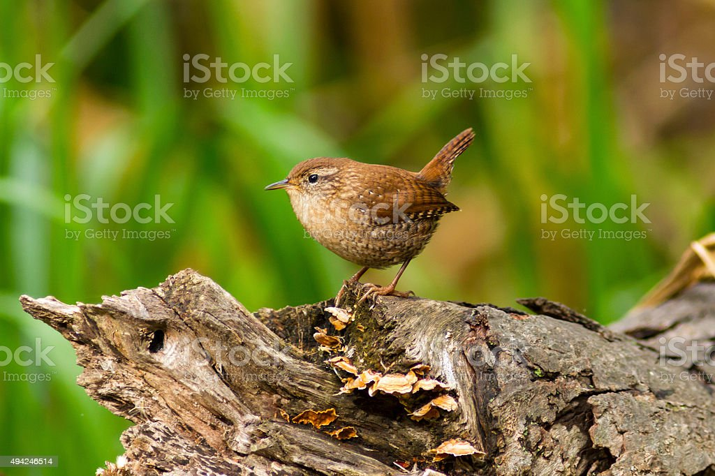 Winter Wren bird perched on a wooden log in Canada stock photo