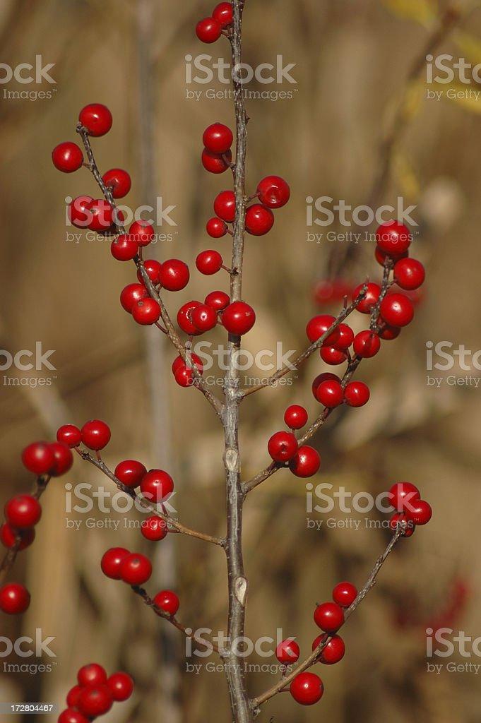 Winterberries stock photo