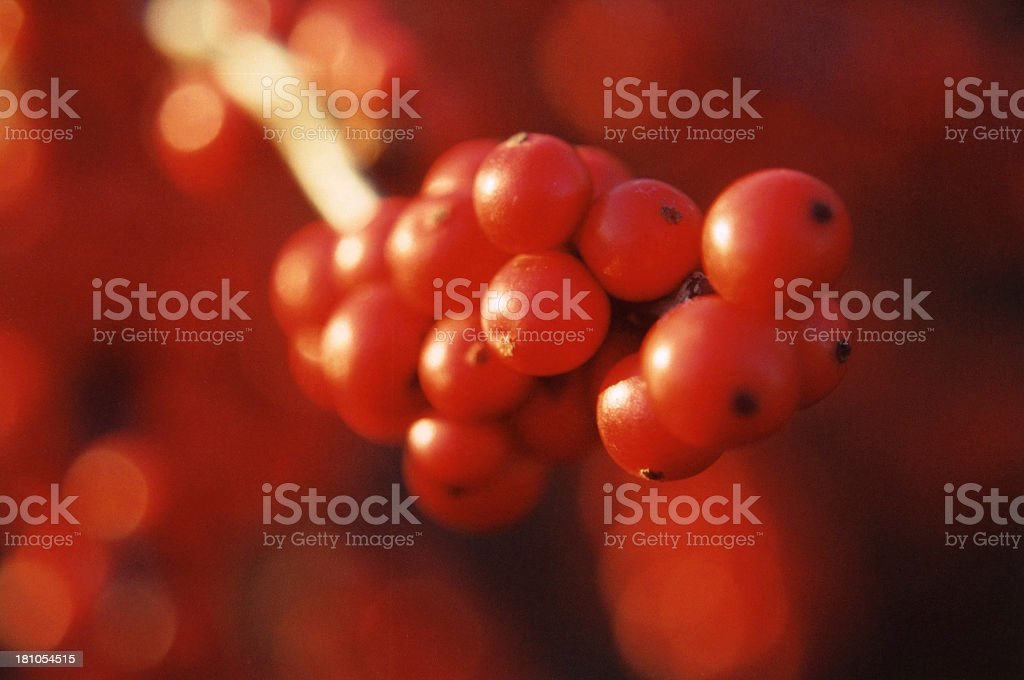 Winterberry cluster royalty-free stock photo