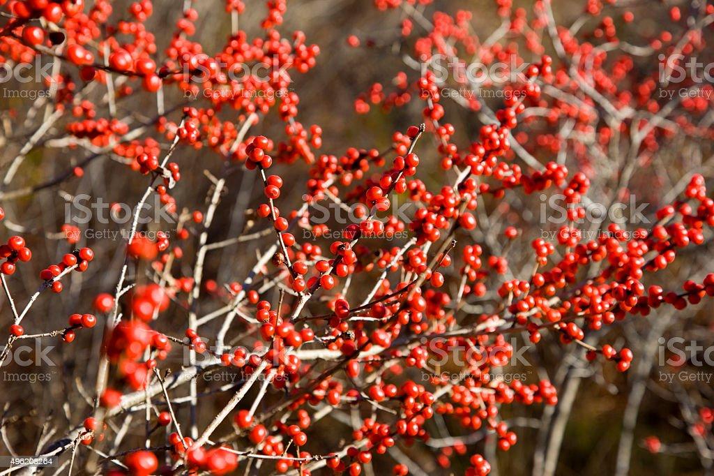 Winterberry fall background. stock photo