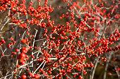 Winterberry fall background.