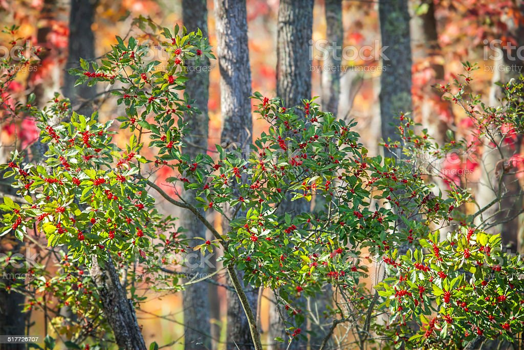 Winterberry Holly in Autumn stock photo