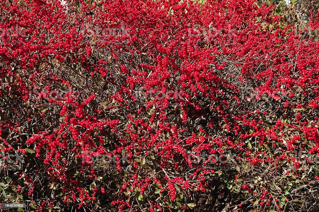 Winterberry Holly stock photo