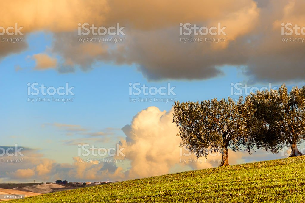 RURAL LANDSCAPE WINTER.Between Puglia and Basilicata:olive grove at sunset. -ITALY- stock photo