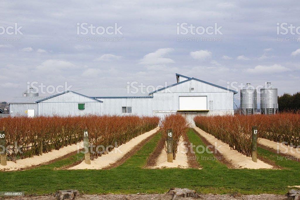 Winterizing Blueberry Crop stock photo