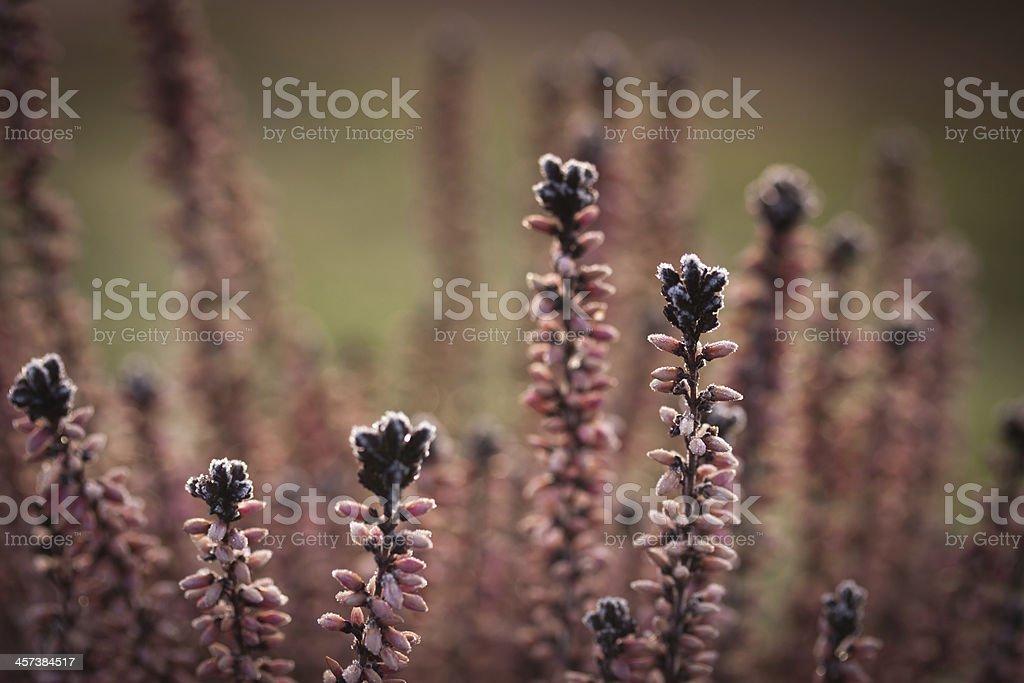 Winterliches Heidekraut stock photo