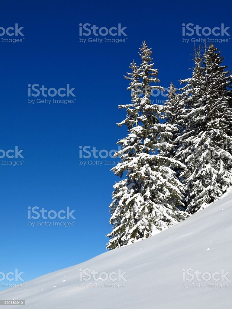 Wintery firs in Gstaad stock photo