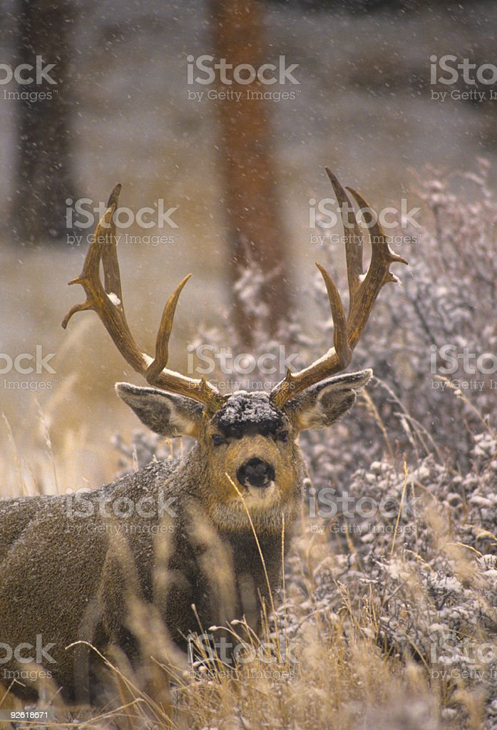 Wintery Mule Deer stock photo