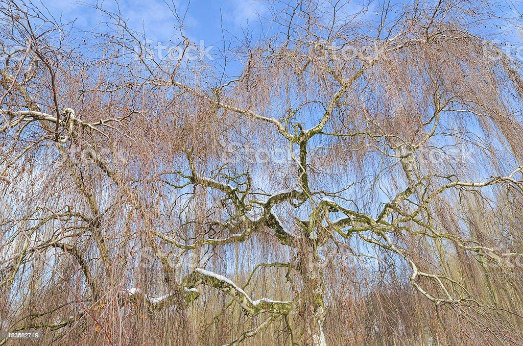 Wintry birch tree against blue sky royalty-free stock photo