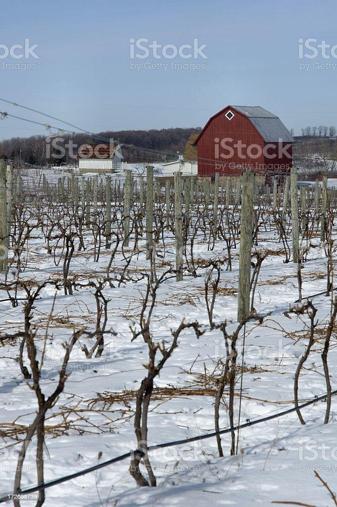 Wintry Vineyard royalty-free stock photo