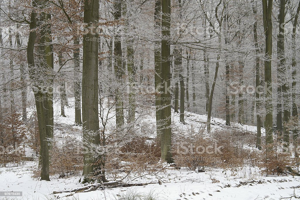 Wintry woods royalty-free stock photo