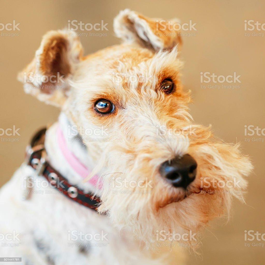 Wire Fox Terrier stock photo