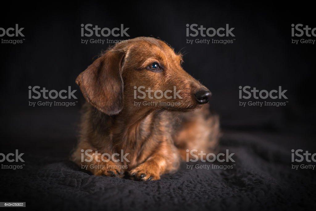 Wire Hair Dachshund Dog stock photo