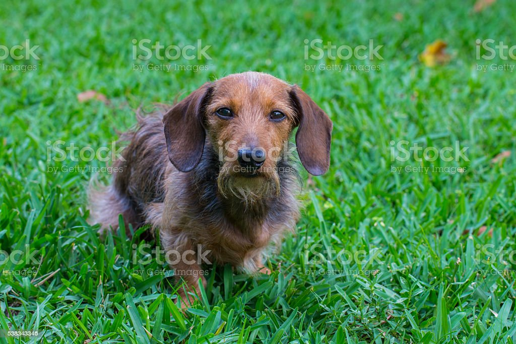 Wire Hair Dachshund Front View stock photo