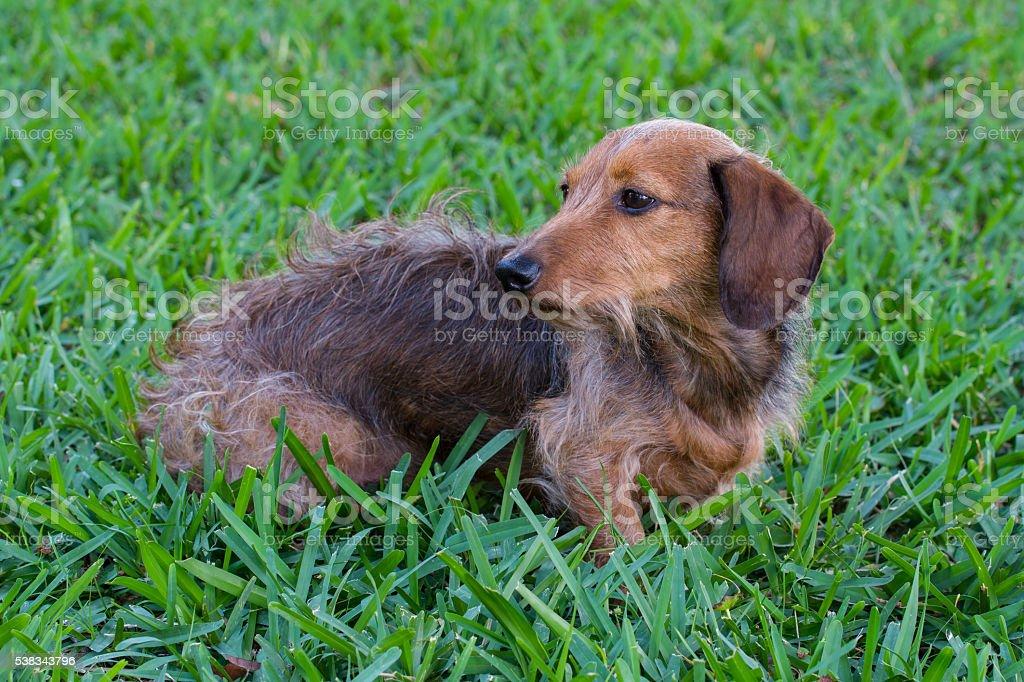Wire Hair Dachshund stock photo