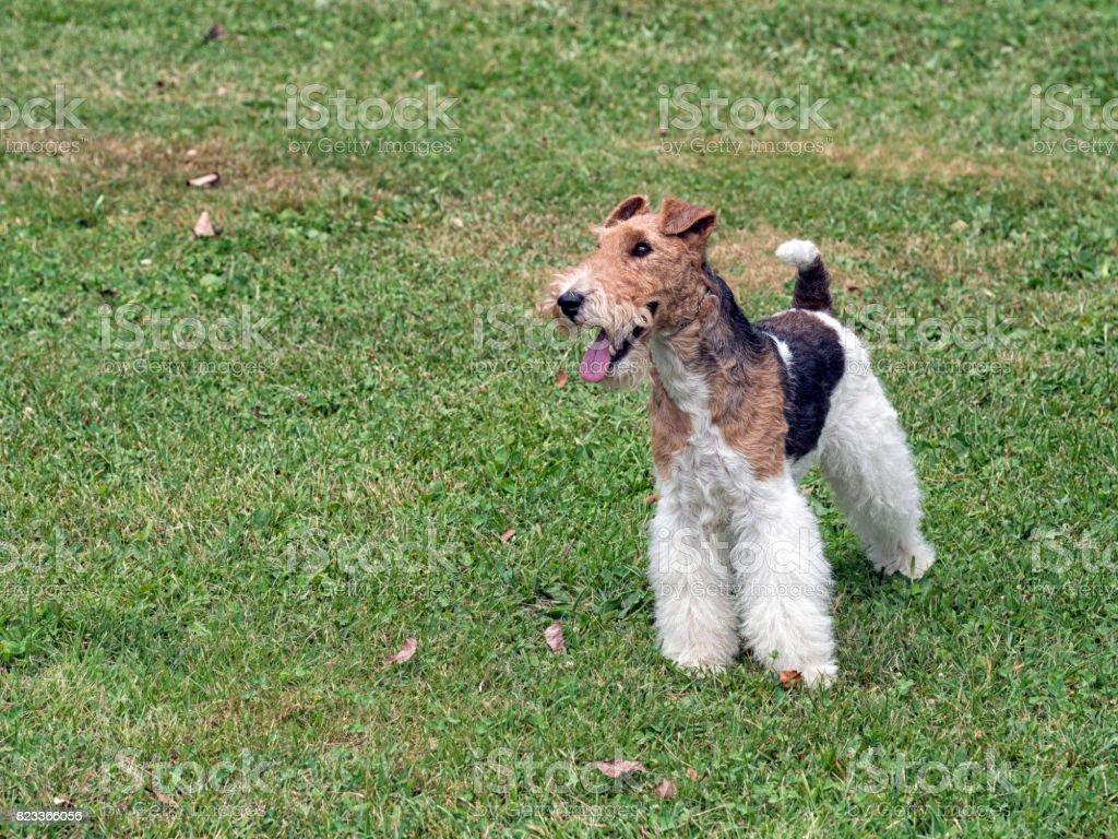 Ziemlich Draht Haar Fox Terrier Züchter Zeitgenössisch - Elektrische ...