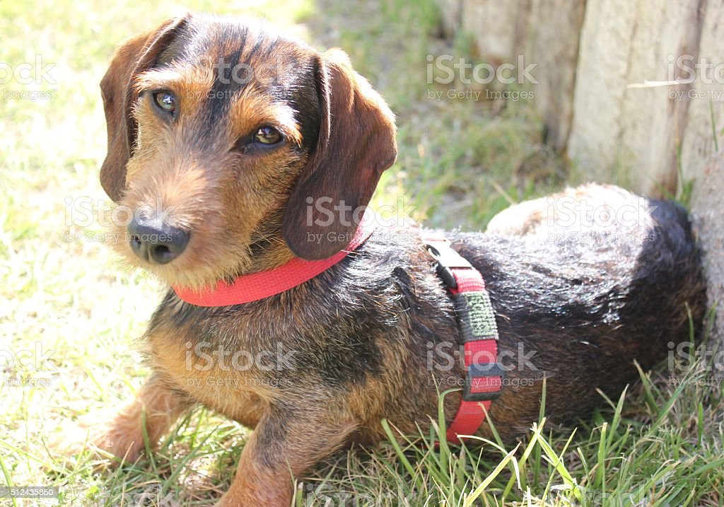 Wire Haired Dachshund Dog stock photo
