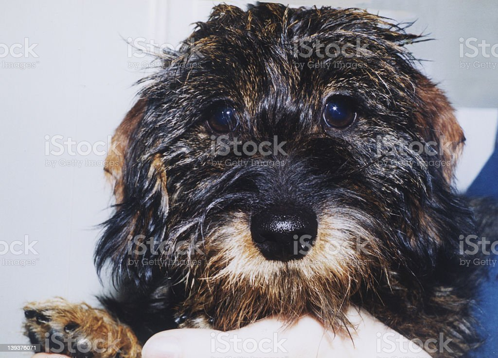 Wire haired dachshund royalty-free stock photo