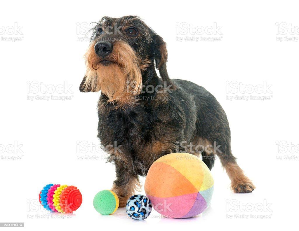 Wire haired dachshund stock photo