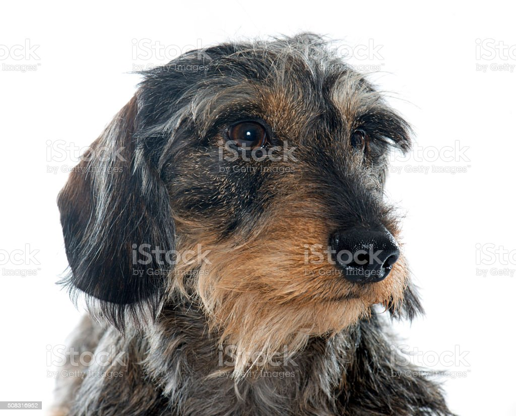 Wire haired dachshunds stock photo