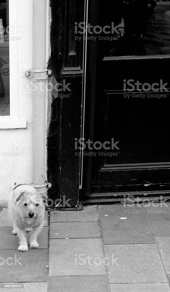 Wire haired Jack Russel Border terrier cross stock photo