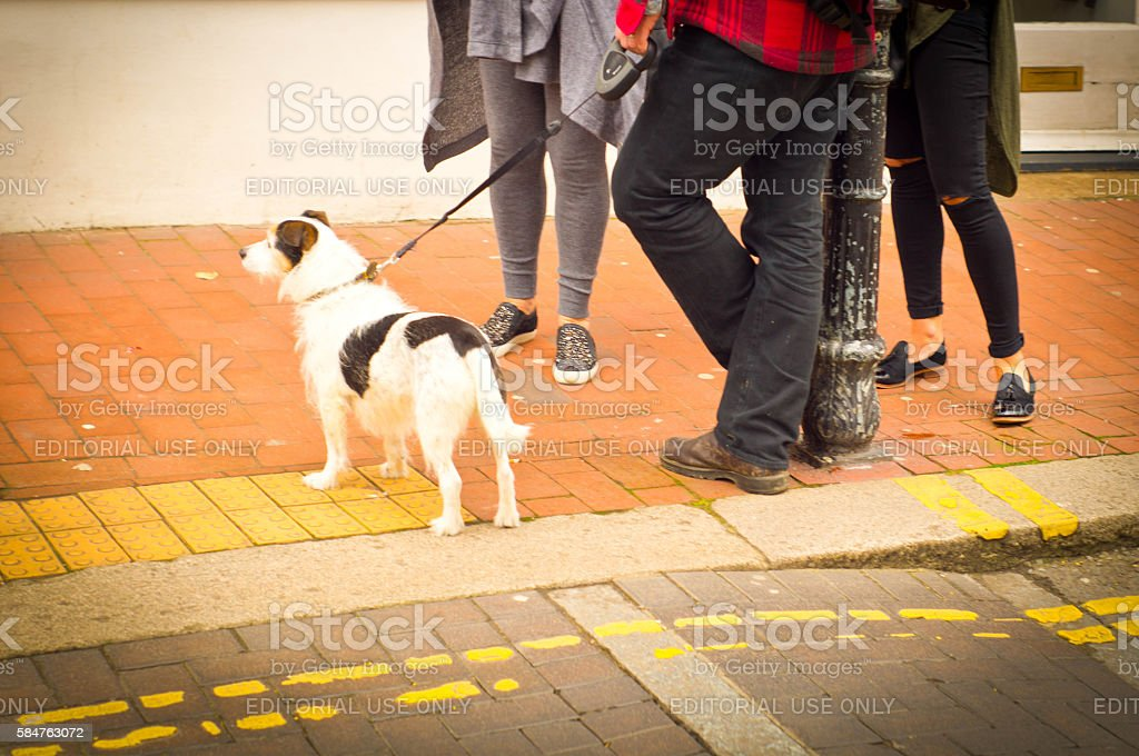 Wire haired Jack Russel stock photo